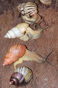 Lignus intertinctus