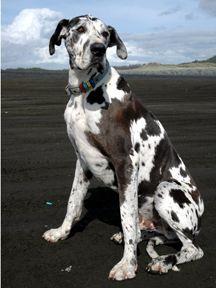 Pin By Missy Bird Sprague On Animals Great Dane Dogs Dog Breeds