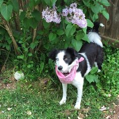 Puppy with lilacs