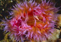 Image: Dahlia sea anemone (© Brian J. Skerry/National Geographic)