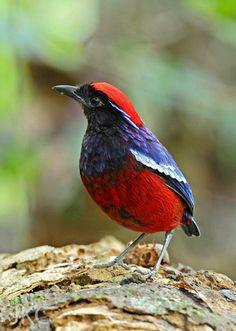 Birds in Thailand: Garmed Pitta
