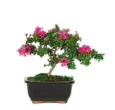 Crepe Myrtles are enjoyed by millions across the United States in the landscapes of owners who want to show both style and color in their home decor. Now, you can enjoy a tiny Crepe Myrtle Bonsai Tree that was developed and perfected by the National Arboretum!