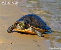 Alabama red-bellied turtle at water's edge