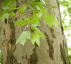 gewone plataan als boomvorm