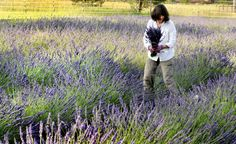 Grant Creek lavender grower takes sales to Internet.