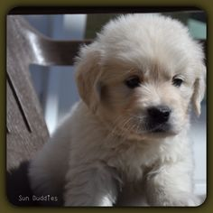 Beautiful Little English Cream Golden Retriever!  #puppy #puppies #cute #golden