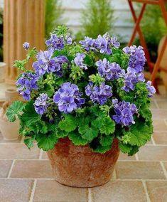 #beautifulflowersrare #perennialcontainergardeningideas