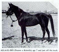 Alaa El Din (Nazeer x Kateefa) A 1956 Egyptian Arabian stallion.