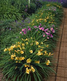 "Daylilies are incredibly easy to grow and thrive in hot summer sun. 'Stella D'oro' and 'Purple D'oro' are dwarf rebloomers that produce clusters of 3"" trumpet shaped blooms all season long."
