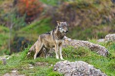 Standing proud wolf