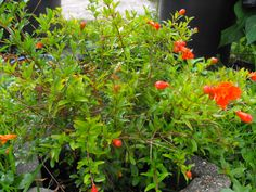 dwarf pomegranate, very colorful and pretty.