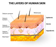 Understand How The Skin Layers Work For Repair Skin repair begins 7 layers deep. To truly relieve conditions of psoriasis, eczema and dry scalp you need natural remedies that can penetrate the necessary layers. Skin Anatomy, Human Anatomy, Beyond Skin, Nursing School Notes, College Notes, Skin Structure, Layers Of Skin, 7 Layers, Anatomy And Physiology