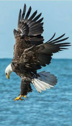 Pigargo americano - Bald Eagle - Weißkopf-Seeadler - Pygargue à tête blanche Eagle Images, Eagle Pictures, Bird Pictures, Nature Animals, Animals And Pets, Beautiful Birds, Animals Beautiful, Eagle Wallpaper, Eagle Art