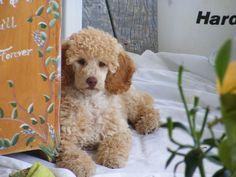 miniature poodles. soooo adorable!