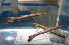 Marble Gar Fish for Live Freshwater Aquarium Fish