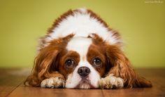 Pies, King Charles Spaniel