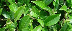Tea (Camellia sinensis) - Természet Patikája Egyesület