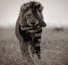 Winner Winner Zebra Dinner // A Male Lion in the Mara walking away with the remains of a zebra leg // Mark Drury Photography © Fluid On The Knee, Knee Tendonitis, Knee Pain Exercises, Tribe Of Judah, Pigeon Pose, Mundo Animal, Broken Leg, East Africa, Nature Animals