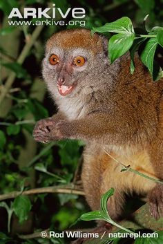 sambirano lesser bamboo lemur hapalemur occidentalis