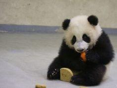 #cute panda