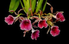 Trichopilia Charles 'Dahlenburg' - Flickr - Photo Sharing!