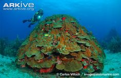 Boulder star coral, Montastraea annularis, the species spawning on our Cayman cam this month!