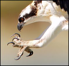 Young Osprey by winnu, via Flickr