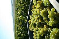Caisse de raisins Chardonnay vendanges 2015