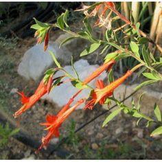 Epilobium  latifolia