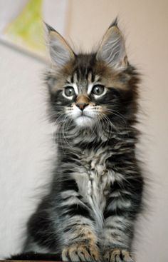Maine coon kitten beautiful. I have been trying to find the breeder of these beauties, as they are absolutely stunning.