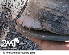 Adhere Repair on Chipped Hoofwall