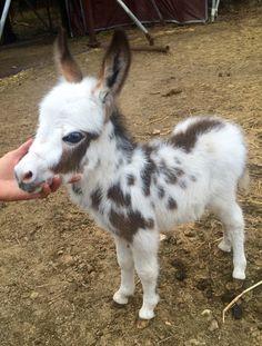 Buckshot, a beautiful spotted baby miniature donkey from Chapel Hill Farm Mini Donkeys!