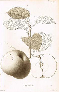 """Pomologie de la France - """"BALDWIN, Pl. 59 (APPLE)"""" - Lithograph of Fruit - 1863"""