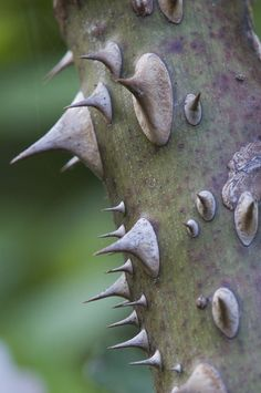 Thorns....I can remember breaking these off as a child and sticking them on our noses!