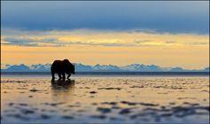 Andy Skillen registrou a imagem de um urso cinzento solitário, com um horizonte montanhoso ao fundo, e venceu a premiação de fotografias da Zoological Society of London (ZSL), edição 2015.  Veja também:  http://semioticas1.blogspot.com.br/2012/10/lista-vermelha-da-extincao.html