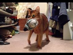 Caught! Hidden Camera Catches Abyssinian Cat Stealing Clothes (watch to ...