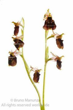 Orchid wild of Sardinia - orchidea selvatica di Sardegna