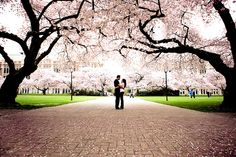 Cherry Blossom festivals begin March it's a Japanese tradition Cherry Blossom Pictures, Sakura Cherry Blossom, Cherry Blossoms, Heart Photography, City Photography, Photography Ideas, Engagement Pictures, Engagement Shoots, Wedding Stuff