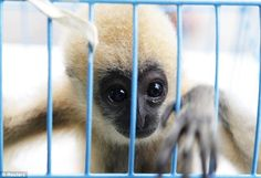 A three month old gibbon is saved from trafficking by customs police. Some of the animals had been packed inside canisters punched with air holes