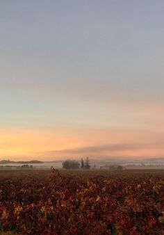 Wine Country sunrise in Sonoma County's Alexander Valley. Vines changing hues of colors. Fog laying low and the sun just rising up over the mountains.