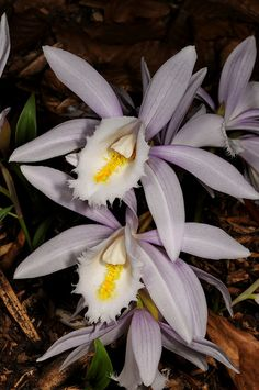 Orchid Pleione Ueli Wackernagel
