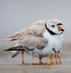 Piping Plover with chicks on Plum Island, MA. Michael Milicia for National Geographic