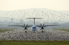 STRANGE FLYING DANGERS - AMAZING NOSE ON SHOT OF COMMUTER AIRLINER TAKING OFF WITH A HUGE FLOCK OF BIRDS!