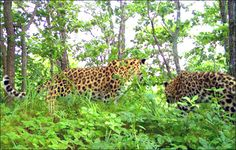 Panthera pardus orientalis with cub, image by Land of Leopard National Park
