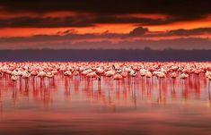 Stock image of 'African flamingos in the lake over beautiful sunset, flock of exotic birds at natural habitat, Africa landscape, Kenya nature, Lake Nakuru national park reserve' Beautiful Sunset, Beautiful Birds, Beautiful World, Animals Beautiful, Beautiful Places, Foto Poster, Out Of Africa, Kenya Africa, Kenya Nairobi