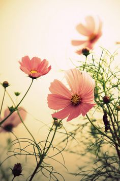 Find images and videos about nature and flowers on We Heart It - the app to get lost in what you love. Cosmos Flowers, My Flower, Pink Flowers, Flower Power, Beautiful Flowers, All Nature, Jolie Photo, Flowering Trees, Photos