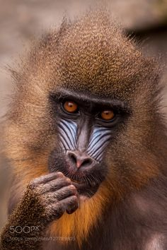 Mandrill, by JHvanlaar