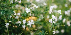 Το γιασεμί είναι το δημοφιλέστερο αναρριχώμενο φυτό που μας χαρίζει απλόχερα το γλυκό άρωμα των λουλουδιών του. Η ανθοφορία του ξεκινά μόλις ζεστάνει ο καιρός την άνοιξη και διατηρείται μέχρι τα πρώτα κρύα του χειμώνα