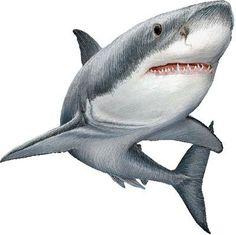 Great White Shark, White Pointer, or White Death clipart graphics (Free clip art Great White Shark Drawing, Hai Tattoos, Shark Painting, Shark Art, Shark Week, Marine Life, Sea Creatures, Clipart, Animal Drawings