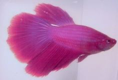 Betta fish on pinterest betta fish betta and betta fish for Pink betta fish